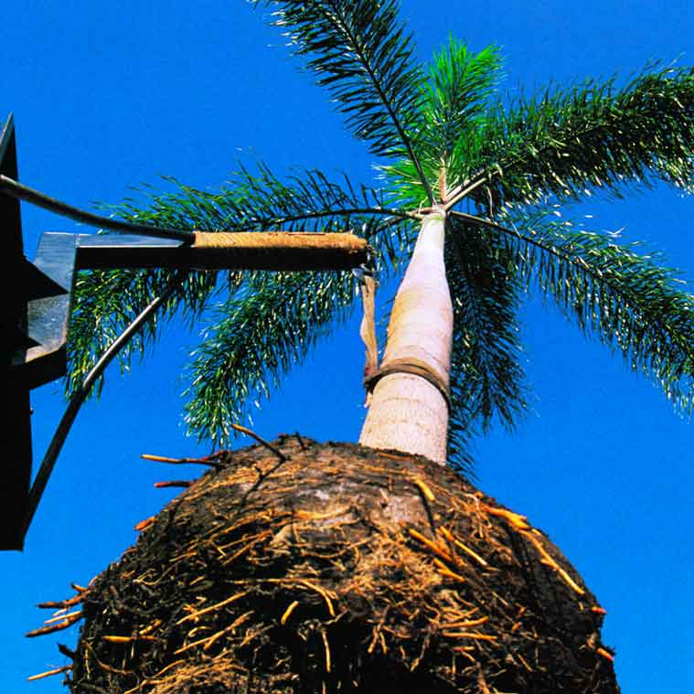 Palm tree being installed | Installation Services Landscape Florida