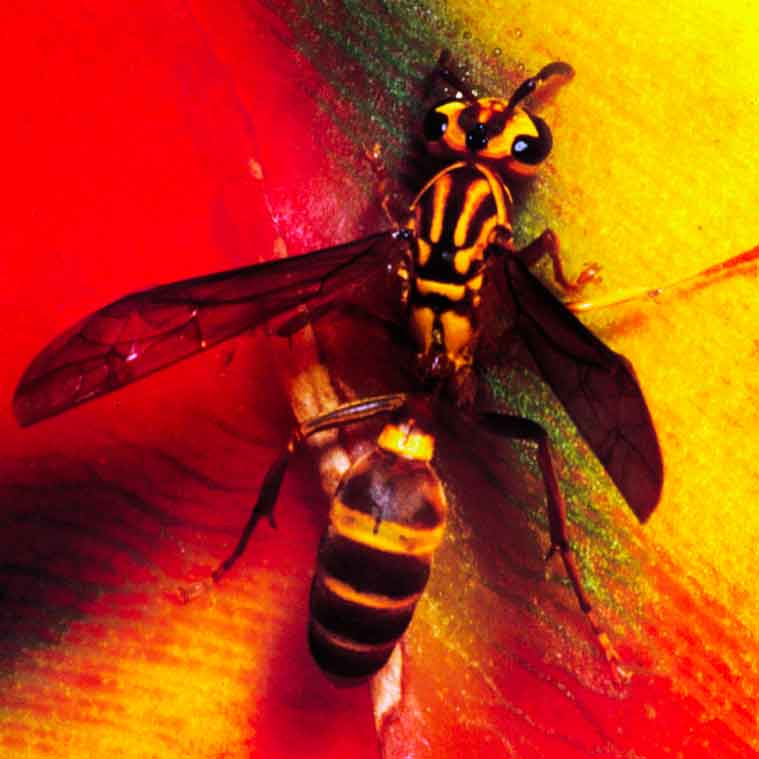 Closeup of yellow jacket | Pest Control Services Landscape Florida