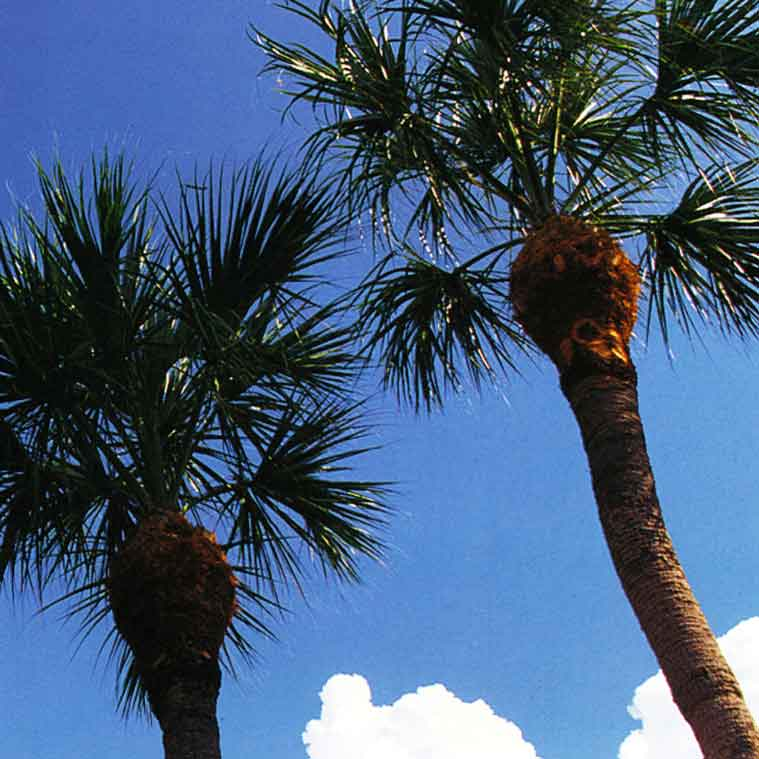 Two palm trees | Tree Service Services Landscape Florida